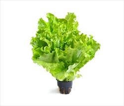 Салат листовой в стаканчиках 1шт - фото 4776