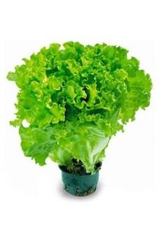 Салат Чудово свежий зеленый 90г - фото 6606
